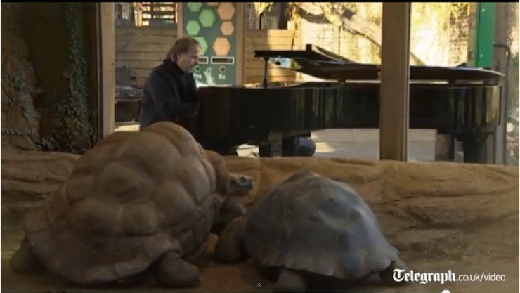Clayderman Tortoises