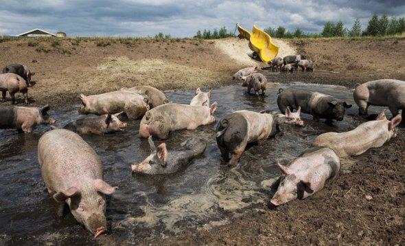 Pig water slide 1