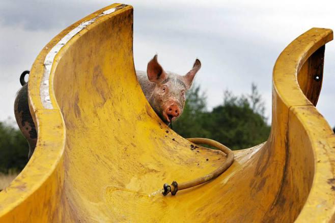 pig water slide 2