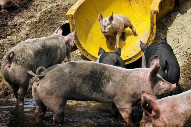 pig water slide 3