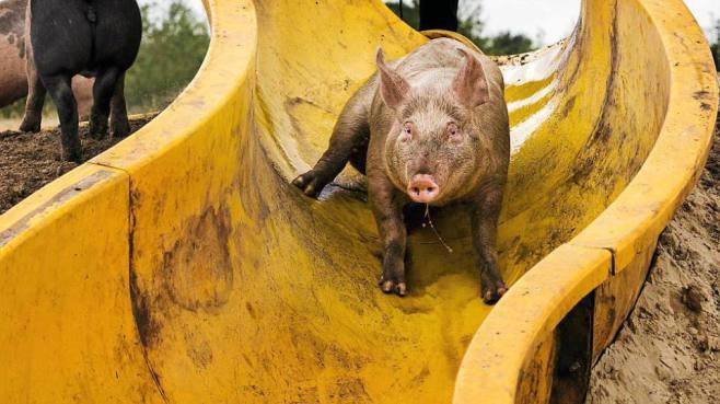 pig water slide 4