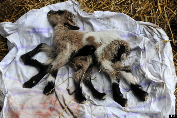 Eight legged goat