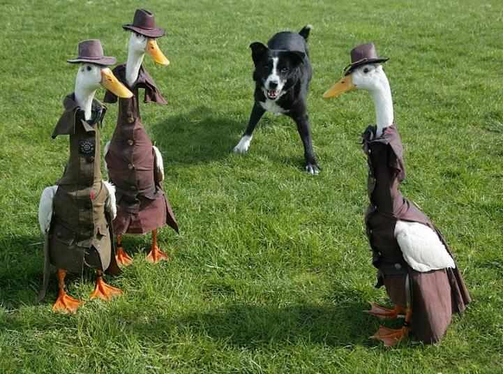ducks7