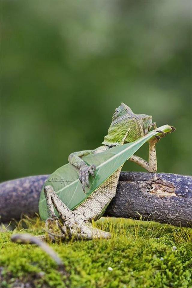 Lizard-Playing-Guitar
