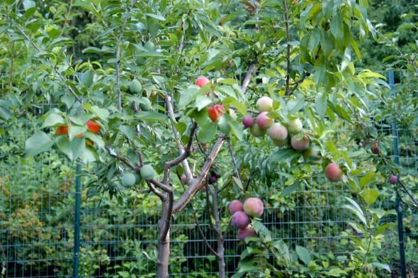 40_fruit_2