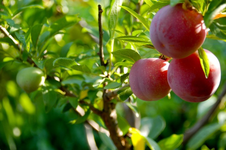 40_fruit_3